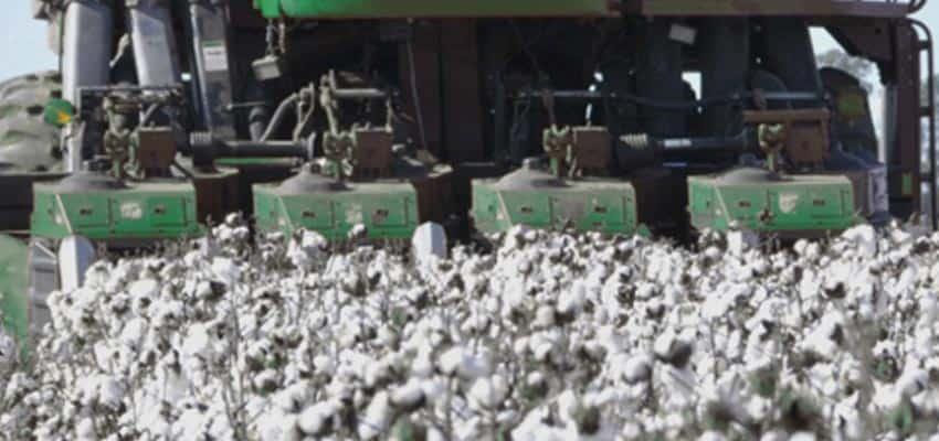 cosechando algodon