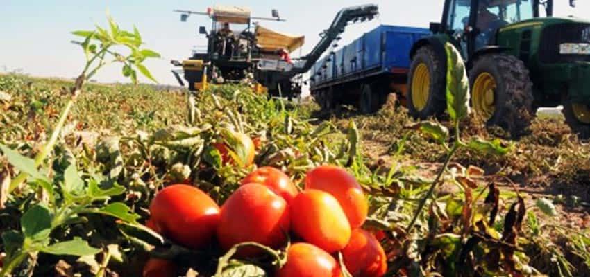 Cosechando tomate